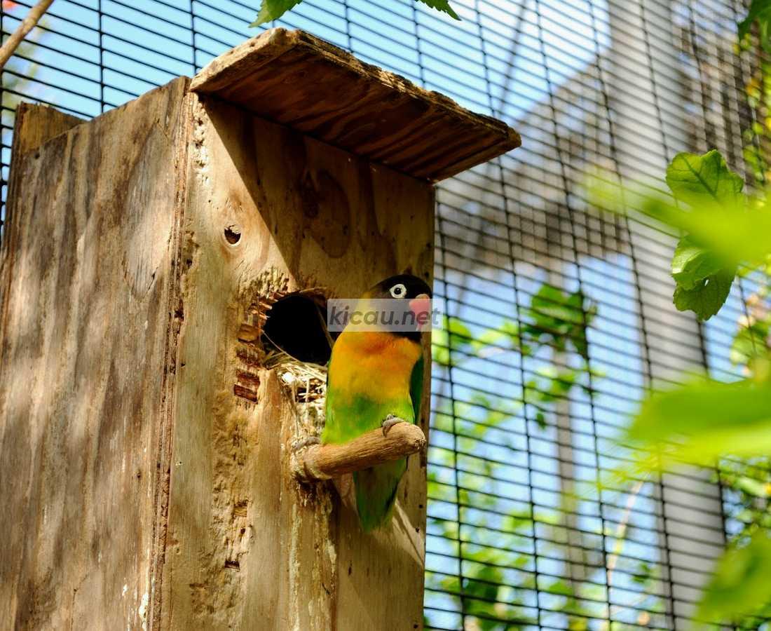Cara Beternak Lovebird Mudah Murah Cocok Untuk Pemula