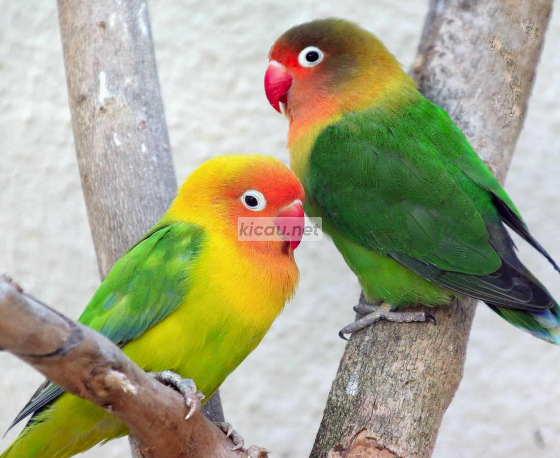indukan ternak lovebird