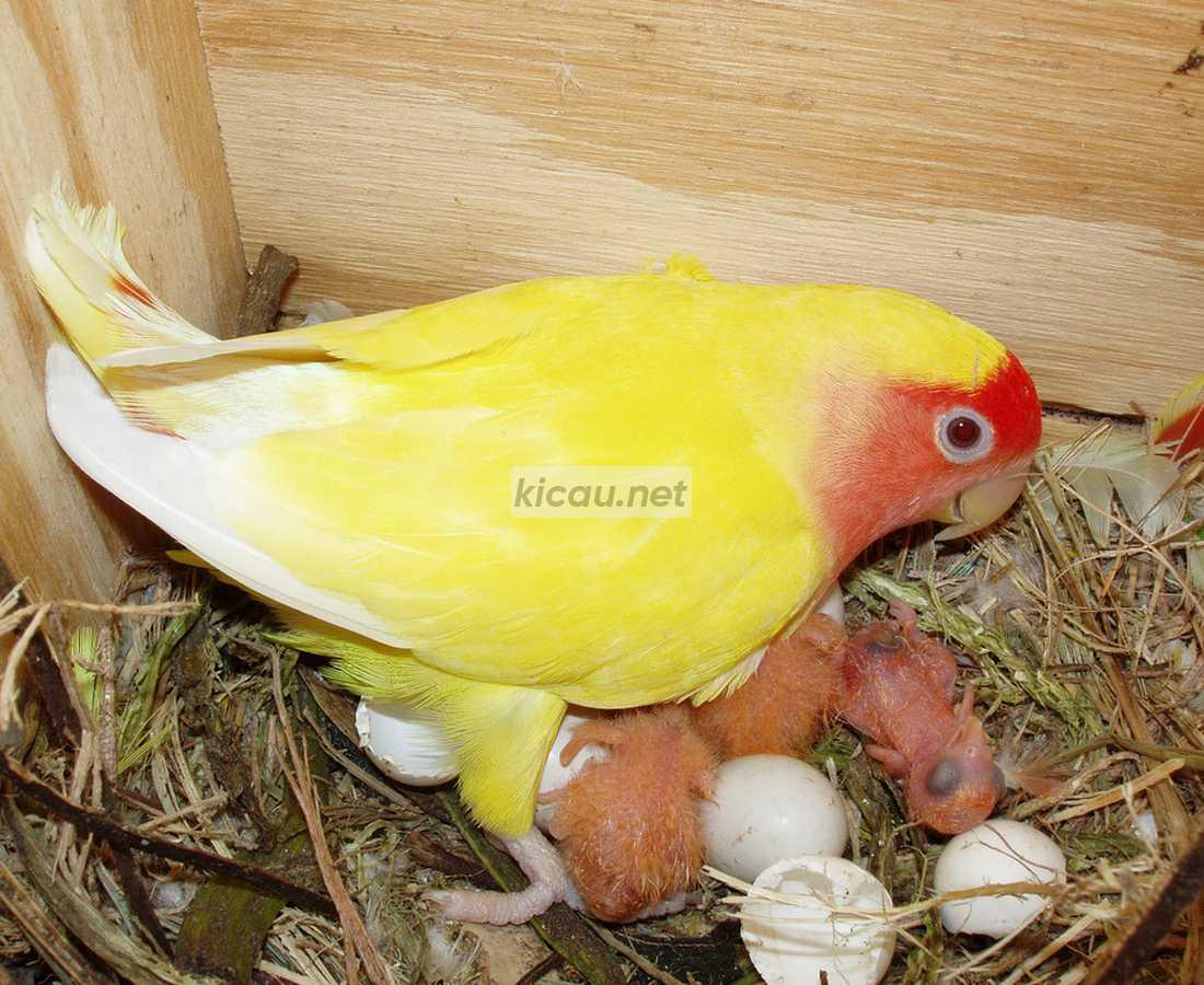 lovebird mengerami telur