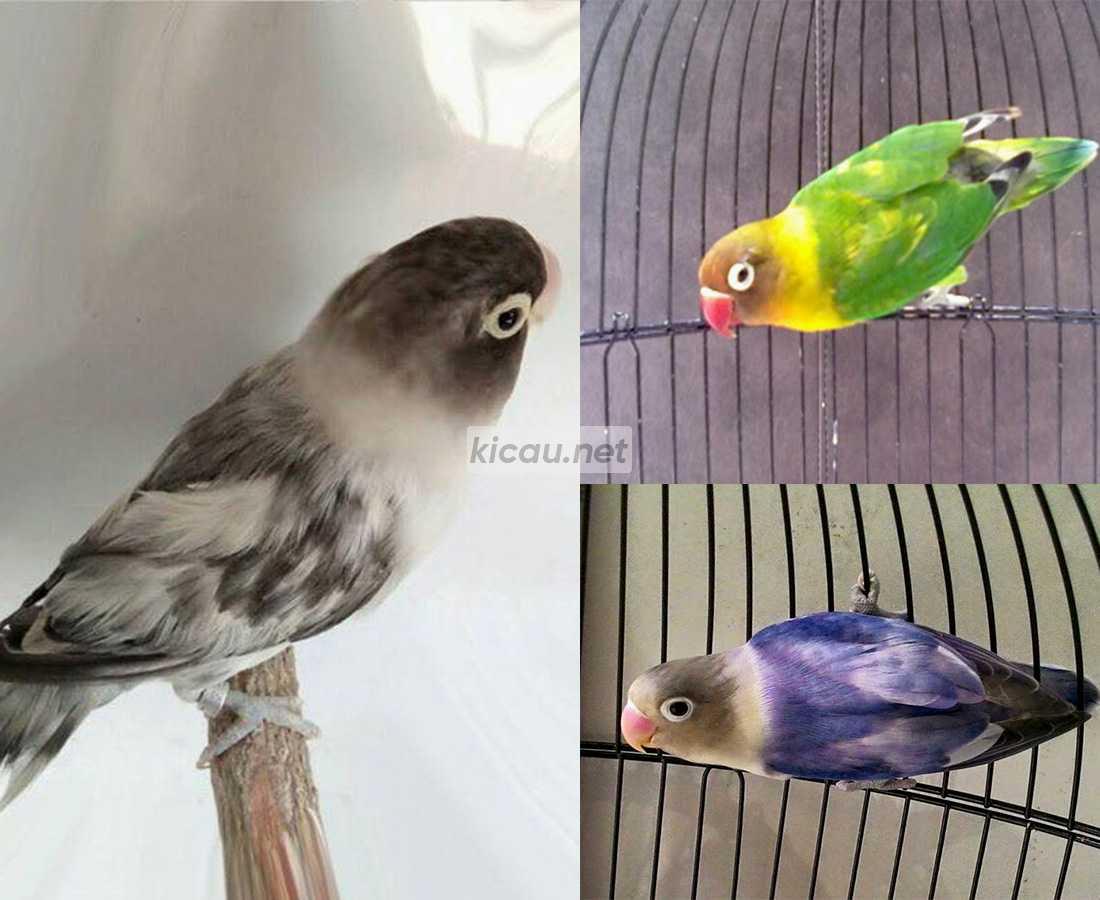 Lovebird Blorok Hitam, Lovebird Blorok Biru, Lovebird Blorok Hijau