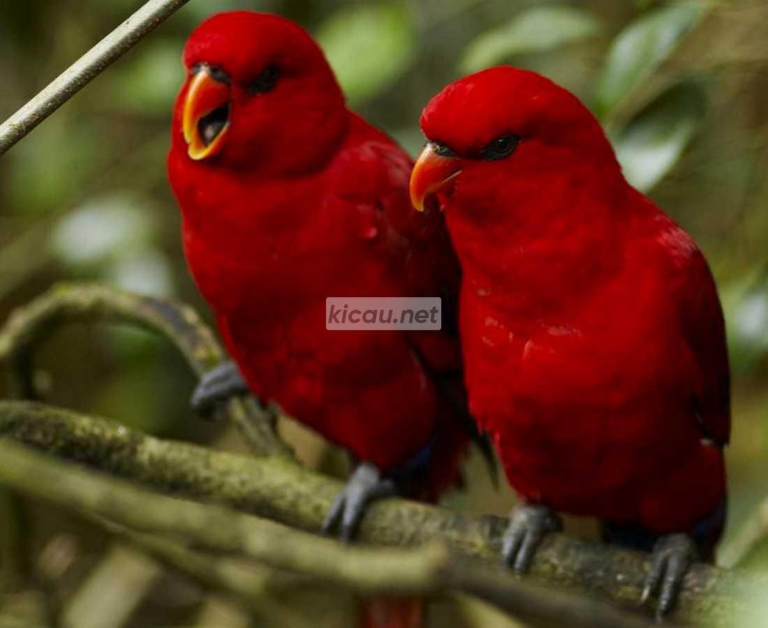 Lovebird Merah