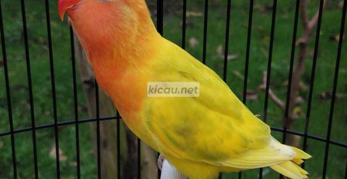 Lovebird Termahal di Dunia