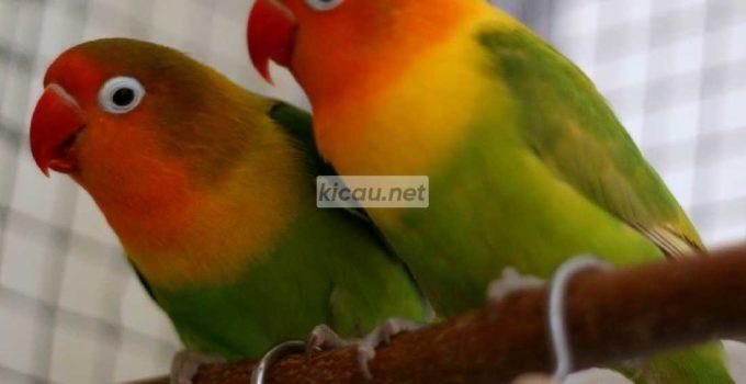 Perbedaan Lovebird Jantan dan Betina