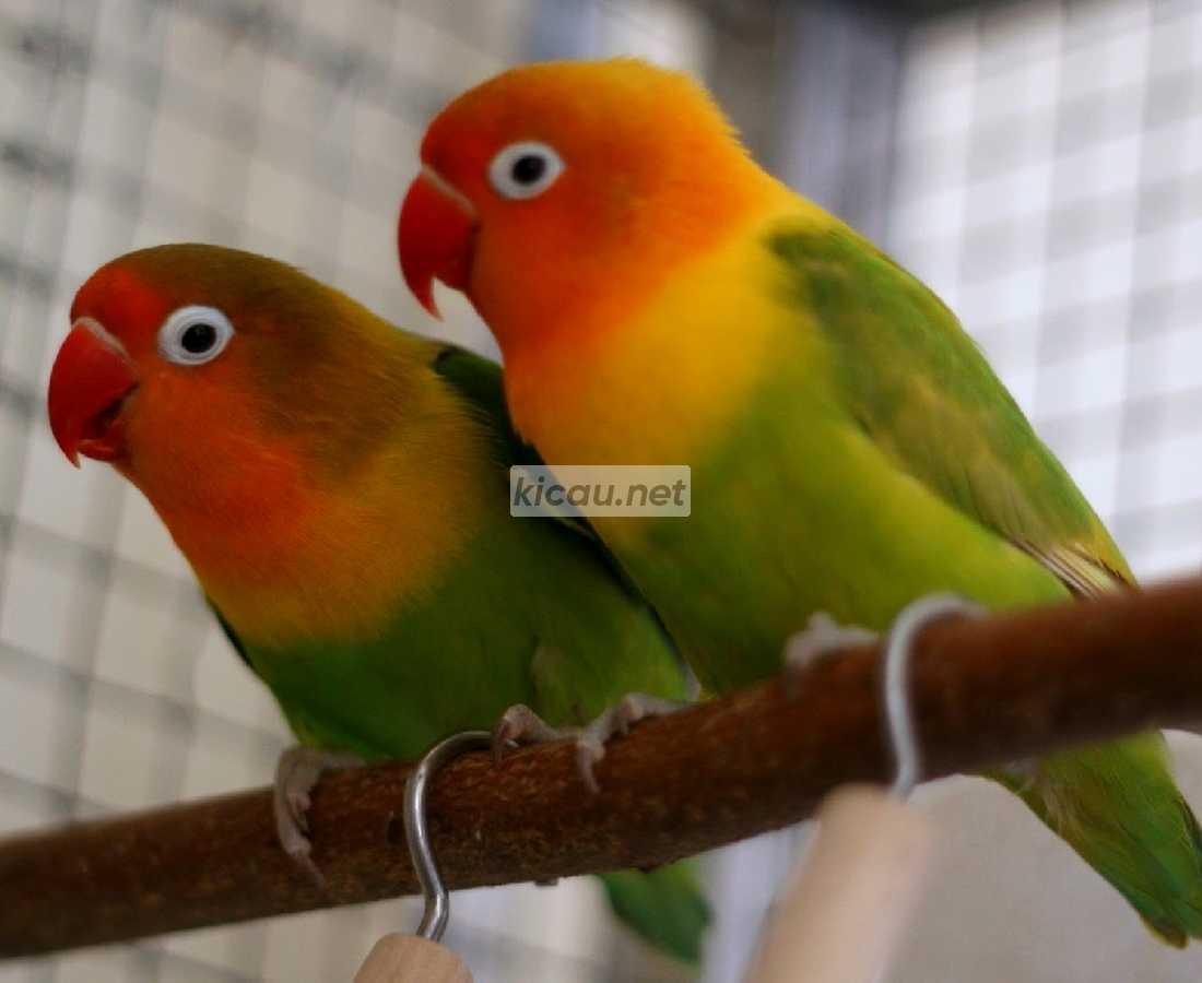 20 Perbedaan Lovebird Jantan Dan Betina 99 Akurat