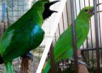 Perbedaan Cucak Ijo Kalimantan dan Banyuwangi