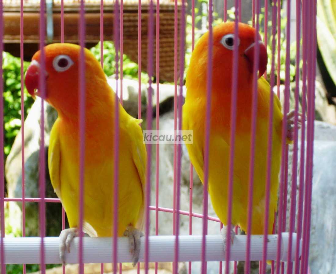 Perbedaan Lovebird Pastel Kuning Dan Lutino Berdasarkan 6 Indikator